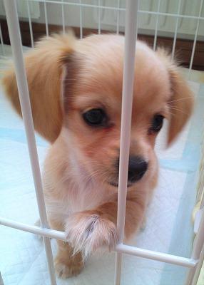 仔犬が檻に手をかけているところ。