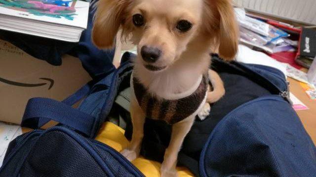 修学旅行のカバンの上で座る超小型犬