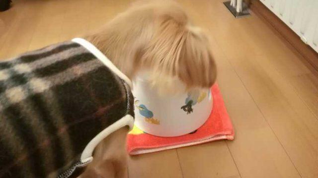 水を飲む超小型犬