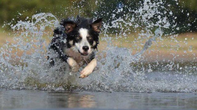 水際を水しぶきを上げて走る犬