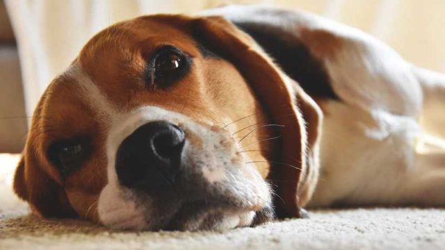 寝転がりながらこちらを見るビーグル犬