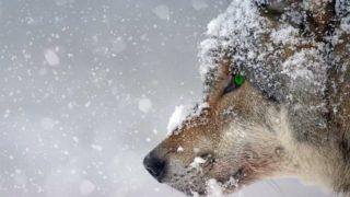 雪の中の狼のアップ