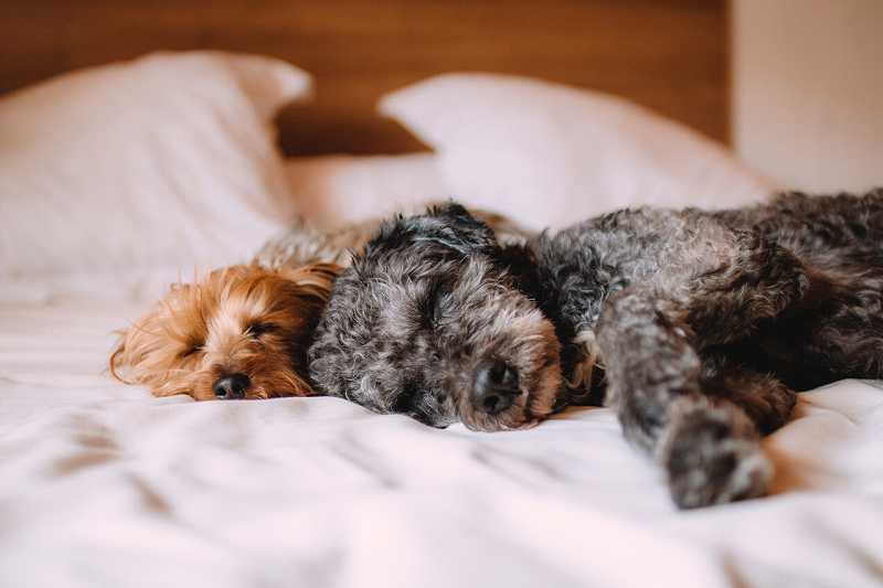 ベッドでくつろぐ2匹の仔犬