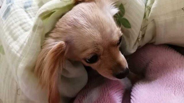 布団にもぐる犬