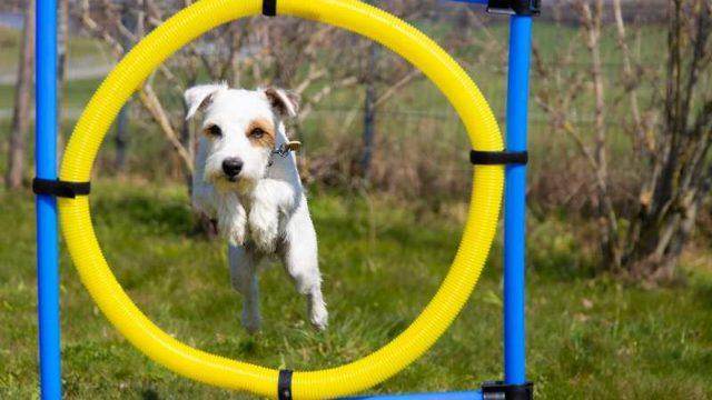 スポーツをする犬