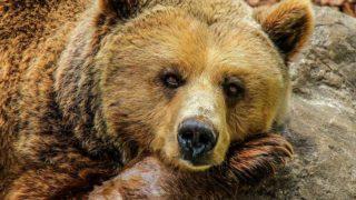 大きいクマ